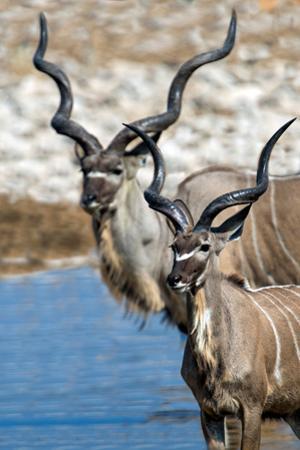 Greater Kudu (Tragelaphus strepsiceros), Etosha National Park, Namibia