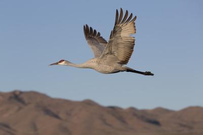 https://imgc.allpostersimages.com/img/posters/greater-sandhill-crane-grus-canadensis-tabida_u-L-PNFVY10.jpg?artPerspective=n