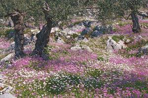 Greek Garden Olive Trees