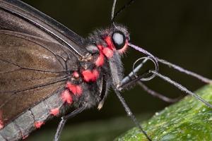 Green-Celled Cattleheart Butterfly, Costa Rica
