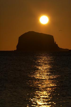 Northern Gannet Colony in Flight over Bass Rock at Sunrise, Firth of Forth, Scotland, August