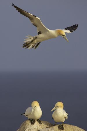 Northern Gannet (Morus Bassanus) Flying over Two on Rock, Saltee Islands, Ireland, June 2009
