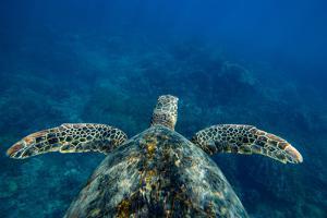 Green Sea Turtle Swimming in the Pacific Ocean, Hawaii, USA