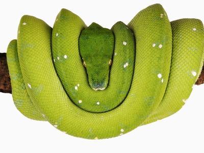 https://imgc.allpostersimages.com/img/posters/green-tree-python_u-L-PZKVTI0.jpg?artPerspective=n