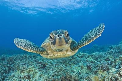 https://imgc.allpostersimages.com/img/posters/green-turtle-chelonia-mydas-maui-hawaii-usa_u-L-PZR2BQ0.jpg?artPerspective=n