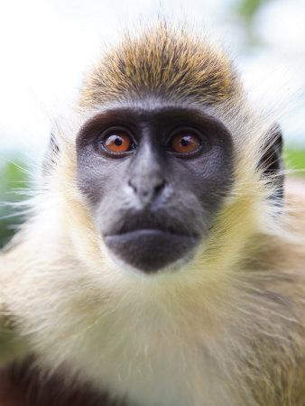 https://imgc.allpostersimages.com/img/posters/green-ververt-monkey-st-kitts-caribbean_u-L-P245L10.jpg?p=0
