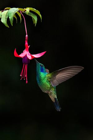 https://imgc.allpostersimages.com/img/posters/green-violetear-colibri-thalassinus-feeding-on-a-flower-savegre-costa-rica_u-L-PWEEG60.jpg?p=0