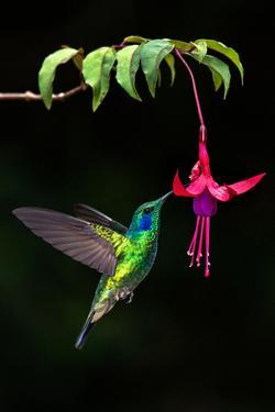 Green Violetear (Colibri Thalassinus) Feeding on a Flower, Savegre, Costa Rica