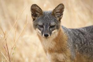 Channel Islands Fox, California by Greg Boreham