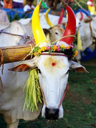 Bull Decorated for Pongal Festival, Mahabalipuram, Tamil Nadu, India by Greg Elms