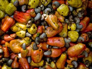 Fermenting Cashew Fruits, with Nut Attached, to Make Fenny at Sahakari Spice Farm, Ponda by Greg Elms