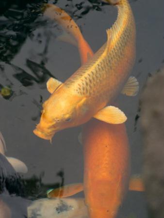 Huge Gold Fish in Pond at Senso-Ji Temple, Tokyo, Japan by Greg Elms