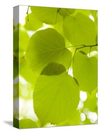 Leaves of Linden Tree, Botanic Gardens by Greg Elms