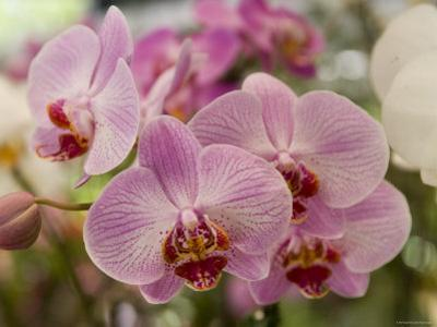 Pink Orchids at Orchid Garden, Kuala Lumpur, Wilayah Persekutuan, Malaysia by Greg Elms