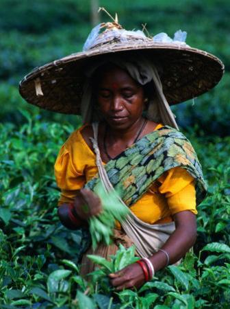 Tea Plucker Picks Leaves from Bush to Make Assam Tea, Guwahati, Assam, India by Greg Elms