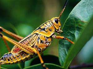 Grasshopper, U.S.A. by Greg Johnston