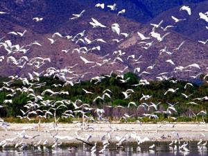 Nesting Egrets at Lago Enriquillo, Dominican Republic, Caribbean by Greg Johnston