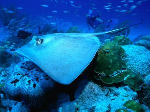 Stingray off the Florida Coast, Florida, USA by Greg Johnston