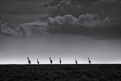 6 Giraffes by Greg Metro