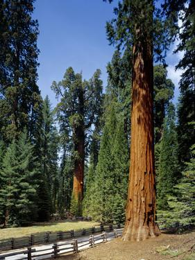 General Sherman Tree in the Background, Sequoia National Park, California by Greg Probst