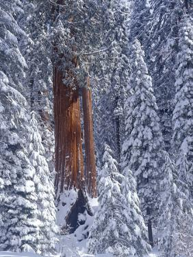Snow Covered Forest, Sequia Kings Canyon National Park, California by Greg Probst