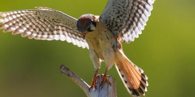 A Male Kestrel, Falco Sparverius, Lands on the Top of a Broken Tree