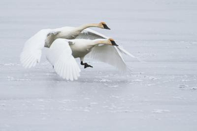 A Pair of Trumpeter Swans Taking Off on a Frozen Creek