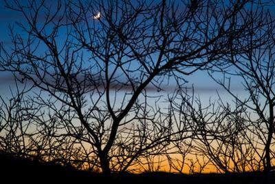 A Partial Moon Seen Through the Branches of Mesquite Tree at Sunset