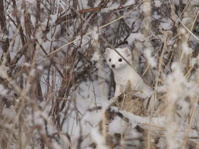 A Short-Tailed Weasel or Ermine, Mustela Erminea