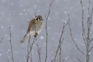 Female Perched and Hunting in Spring Snowfall by Greg Winston
