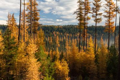 Larch Trees, Larix Laricina, in Autumn Color by Greg Winston