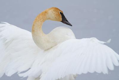 Portrait of a Trumpeter Swan with Outstretched Wings