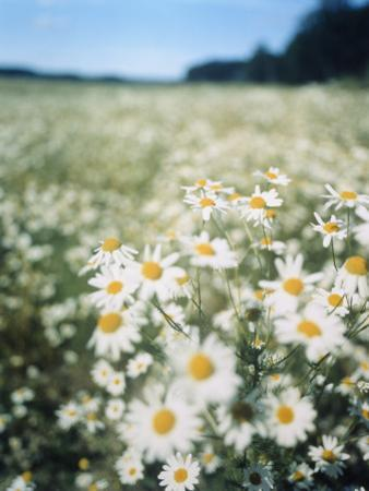 A Field of Chamomiles by Greger Norrevik