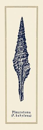 Pleurotoma Shell I by Gregory Gorham