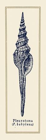 Pleurotoma Shell II by Gregory Gorham