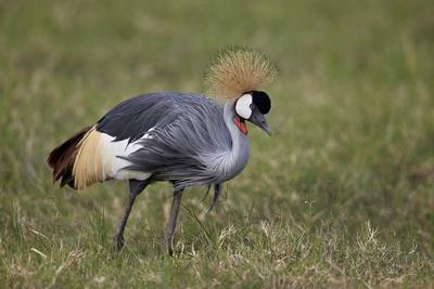 https://imgc.allpostersimages.com/img/posters/grey-crowned-crane-southern-crowned-crane-balearica-regulorum_u-L-PWFHH50.jpg?artPerspective=n