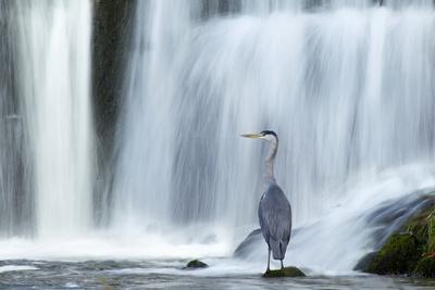 https://imgc.allpostersimages.com/img/posters/grey-heron-ardea-cinerea-beneath-waterfall-ambleside-lake-district-uk-november_u-L-Q10O6420.jpg?p=0