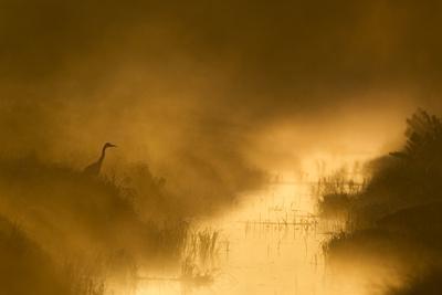 https://imgc.allpostersimages.com/img/posters/grey-heron-ardea-cinerea-beside-drainage-ditch-at-sunrise-cairngorms-national-park-scotland-uk_u-L-Q10OGZN0.jpg?p=0