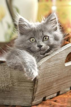 Grey Kitten Lying in Wooden Box