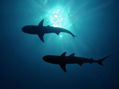 https://imgc.allpostersimages.com/img/posters/grey-reef-sharks-grey-reef-sharks_u-L-Q106IZN0.jpg?p=0