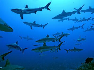 https://imgc.allpostersimages.com/img/posters/grey-reef-sharks-in-the-tumotos-french-polynesia_u-L-Q106IXV0.jpg?p=0