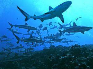 Grey Reef Sharks Swimming into the Fakarava Lagoon