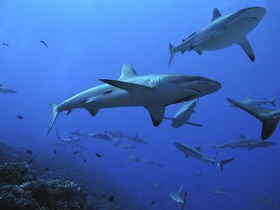 https://imgc.allpostersimages.com/img/posters/grey-reef-sharks_u-L-Q106K700.jpg?p=0
