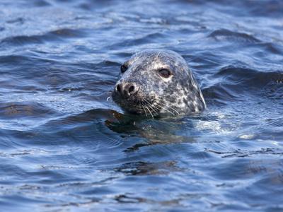https://imgc.allpostersimages.com/img/posters/grey-seal-halichoerus-grypus-farne-islands-seahouses-northumberland-england-uk_u-L-PFNOBU0.jpg?p=0