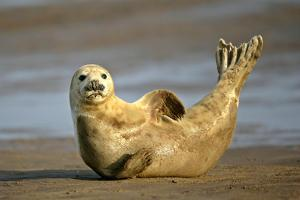 Grey Seal Resting on Beach Stretching it's Body