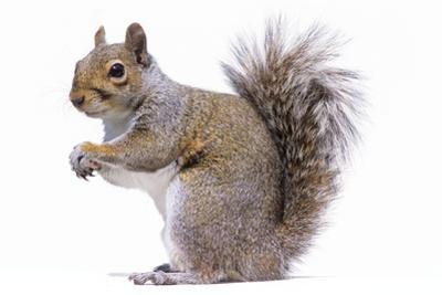 Grey Squirrel Side View