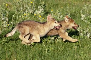 Grey Wolf Pups Running in Meadow