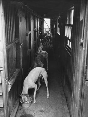 Greyhounds Being Fed in a Kennel