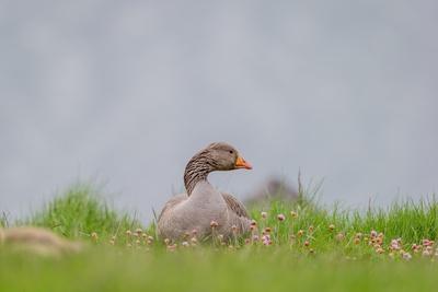 https://imgc.allpostersimages.com/img/posters/greylag-goose-in-fields-goslings-near-by-iceland_u-L-PZSA9J0.jpg?p=0