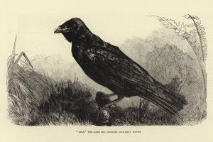 Grip, the Late Charles Dickens' Raven